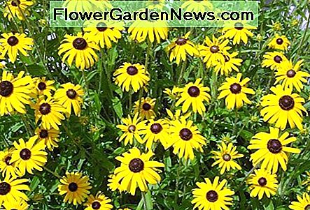 Rudbeckia, or Black-Eyes Susan, is a very bright addition to the late summer and early fall landscape that will offer color for several weeks.
