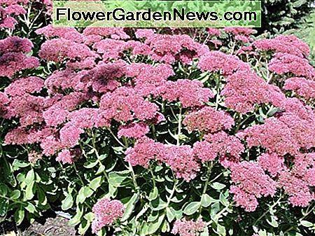 Sedum provides a rich deep red or bronze color, depending on the variety.