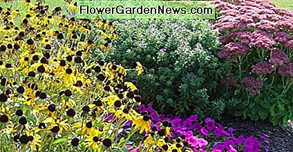 A fall garden planted with aster, sedum, and black-eyed susan will show off for several weeks.