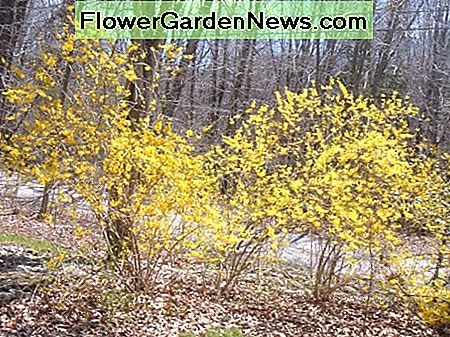 Flowering Forsythia