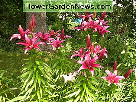 America Asiatic lily is the closest to purple of any Asiatic you can find. Everyone will tell you there isn't such a thing as a purple, but in the right soil this one is.