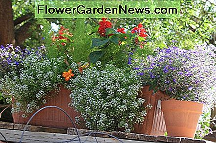 This low growing plant looks great spilling out of containers. Alyssum grown in pots just requires a little extra care with diligent watering and fertilizing.
