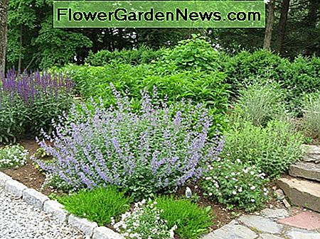 Sweet Alyssum ground cover growing amid Russian sage in a perennial garden.