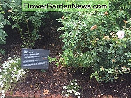 Sweet Alison growing in front of tea roses at the Chicago Botanic Gardens.