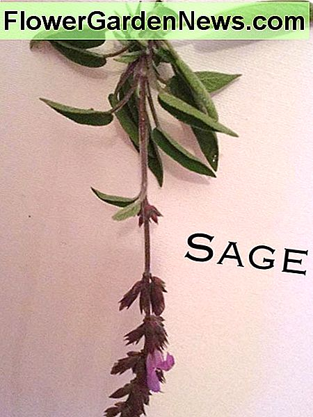 Sprig of sage showing flowers