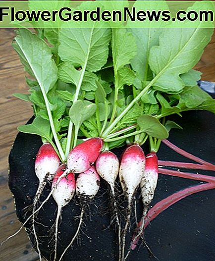A small bunch of French Breakfast radishes grown in containers 2013.