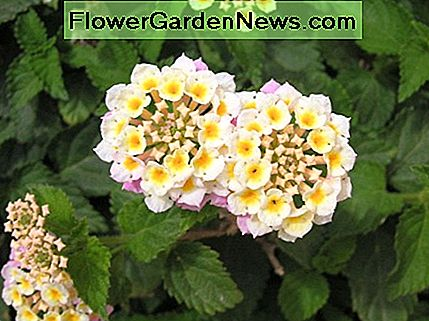 Lantana, lighter colored