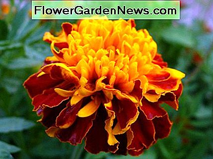 Double Marigold Flower