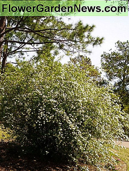 Bridal wreath shrub in our subdivision in glorious bloom.