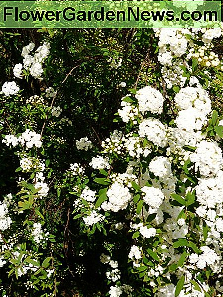 Close-up of bridal wreath (spirea) shrub in bloom.
