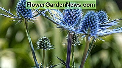 Big Blue Sea Holly (Eryngium zabelii)