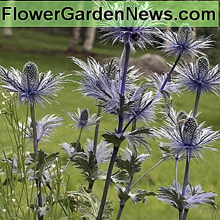 Eryngium alpinum (Flat Sea Holly)