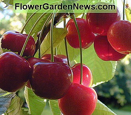 Hoe Cherry Trees in potten groeien