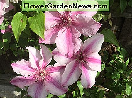 Clematis Margaret Hunt, planted on trellis nailed to a west-facing 6ft wooden fence