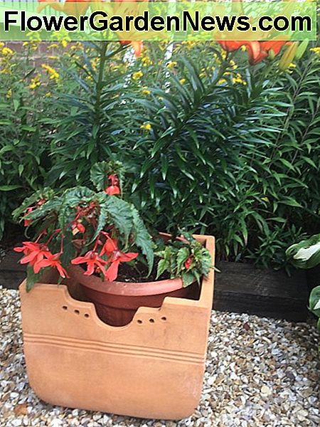 Asiatic lily, Brunello grown with begonia cascade orange in an east facing pot