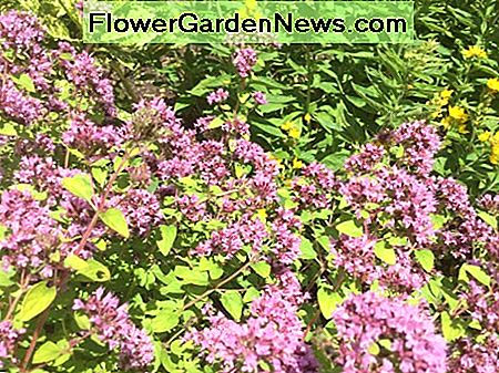 Oregano. Good in Italian recipes and a pretty polinator friendly plant for the flower border