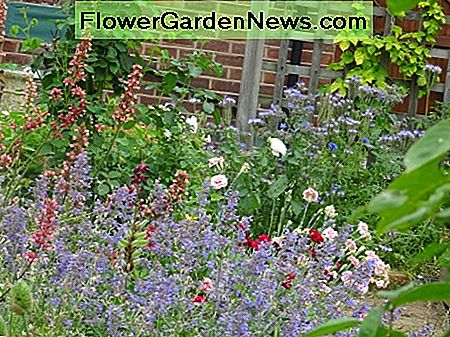 Nepeta, Heuchera, and Pinks growing amongst rose bushes