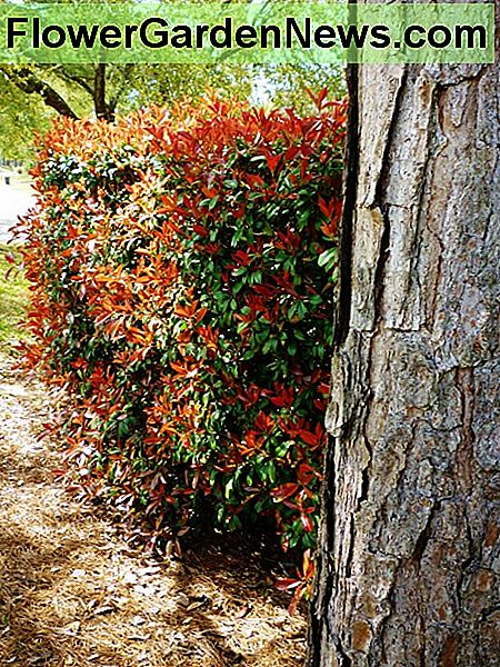 Photinia hedge in the Spring