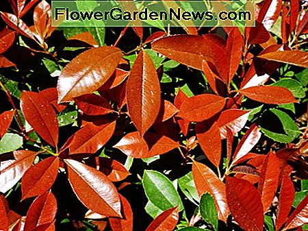 Picture of the red tipped photinias in our garden in the Spring of the year.
