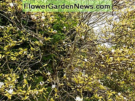 very old magnolia tree in flower