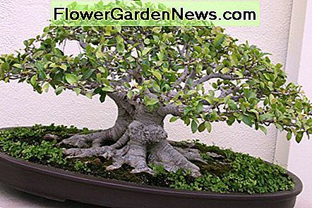 Ginseng Ficus: The Perfect Bonsai Tree voor de beginner