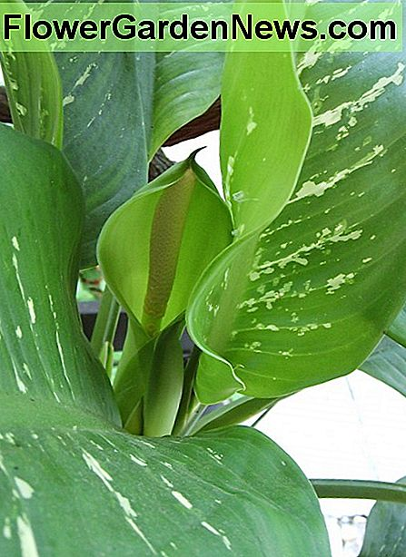 Leaves and inflorescence of Dieffenbachia bowmannii