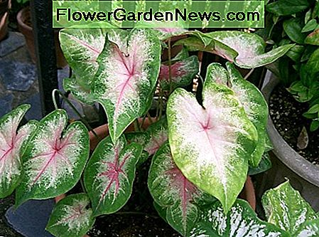 Caladium has beautiful, variegated leaves.
