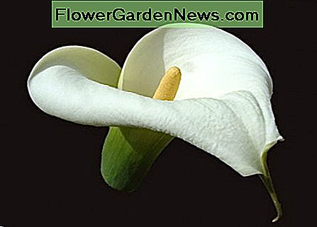 A flower of a calla lily