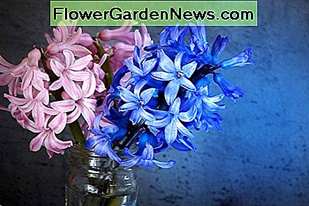 Pink and blue hyacinth flowers