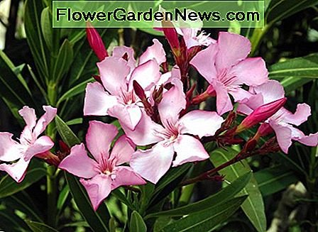 Oleander grows indoors or outdoors. It's a beautiful plant but is very toxic.