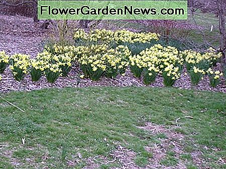 A drift of daffodils at Rutgers Gardens