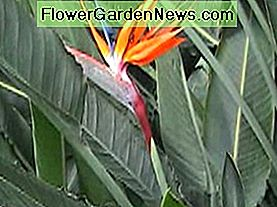 การดูแล Bird of Paradise (Strelitzia)