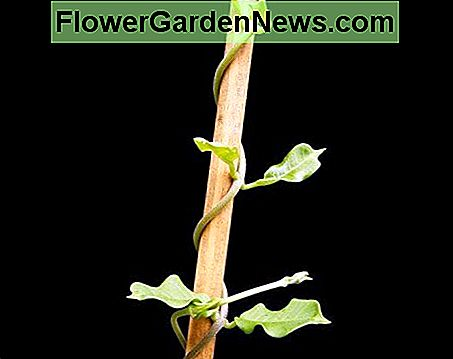 This is a typical bine plant as its stem is curling around the support, rather than any tendrils.