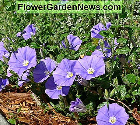 Convolvulus (Morning Glory) is a clockwise Bine.
