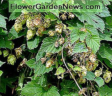 The common hop flower is used to make beer. It is a bine.