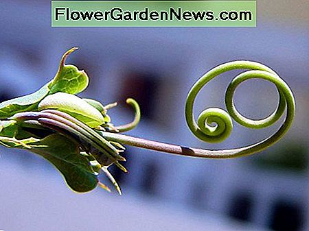 This is a typical vine tendril. Tendrils of vine plants grow either clockwise or anti-clockwise depending on the species.