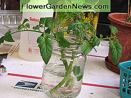 Tomato cuttings placed in water to root. Not my preferred method, but it'll still work most of the time.