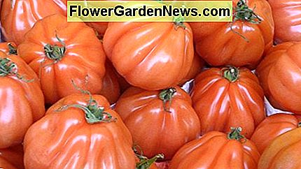 Wachsende Tomaten von Stem Tip Cuttings