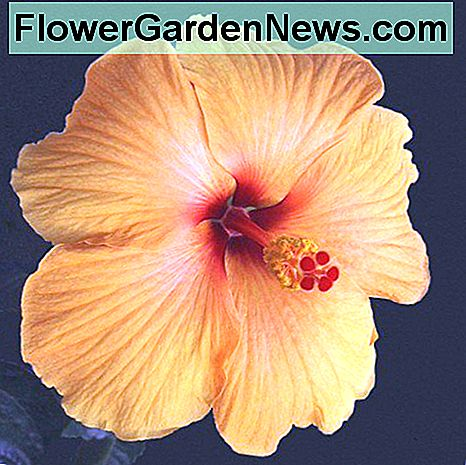 Hardy Hibiscus, Tropical Hibiscus en Rose of Sharon