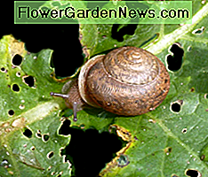 snail feeding on a kale leaf