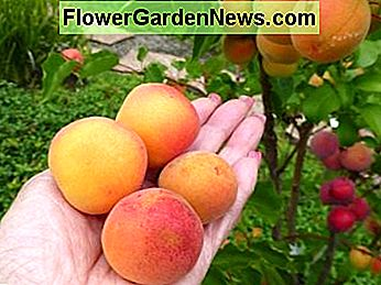 June 23, 2013 - First four apricots to ripen on kitchen counter for a couple of days