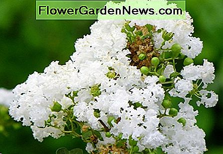 Closeup of crape myrtle blossoms