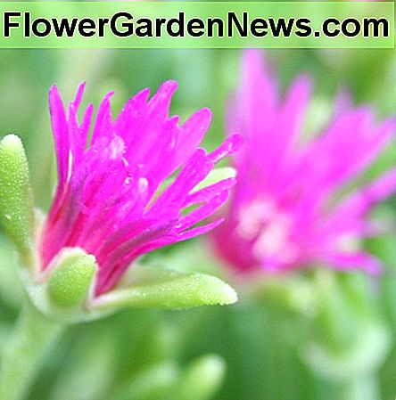 Delosperma Ground Cover: Er Hardy Ice Plant riktig for hagen din?