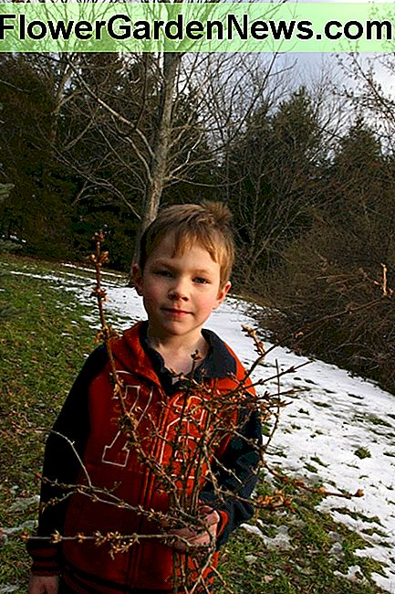 My six year old son holds Forsythia branches: we will bring these indoors to force a bloom.