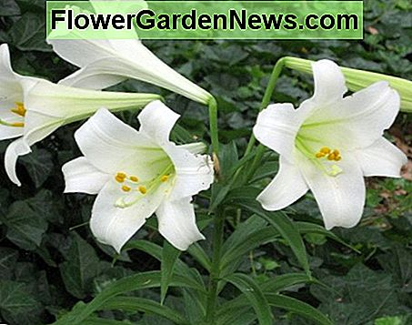 The lily bloomed one year after transplanting from the original pot