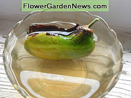 Place Mango Seed in Water (This One Is Sprouting)