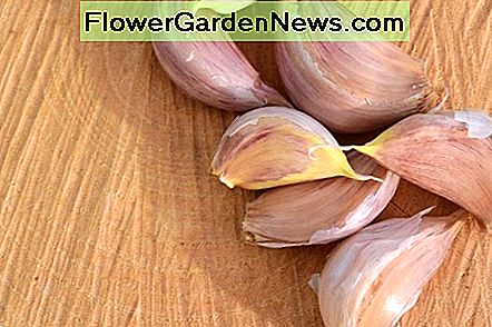 It is best to plant garlic bulbs in the Fall. The bulbs expand in winter. The flavor is best tasting when full matured bulbs is harvested.