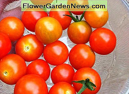 Cherry tomatoes are very easy to grow.