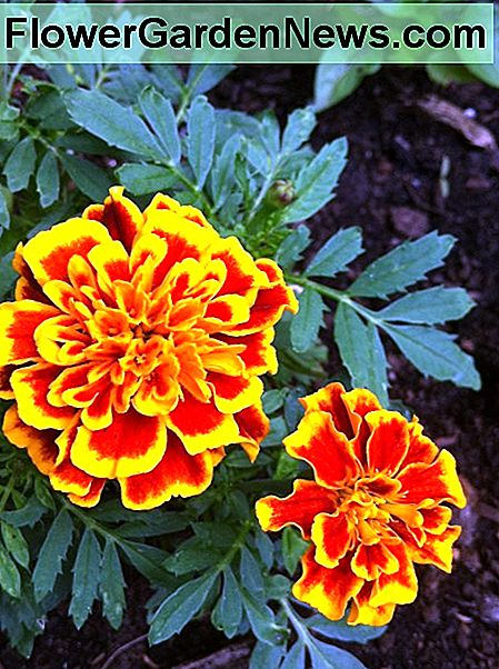 Every vegetable garden needs some marigolds.