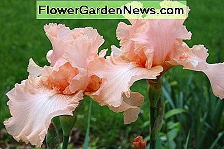 Peach Bearded Iris